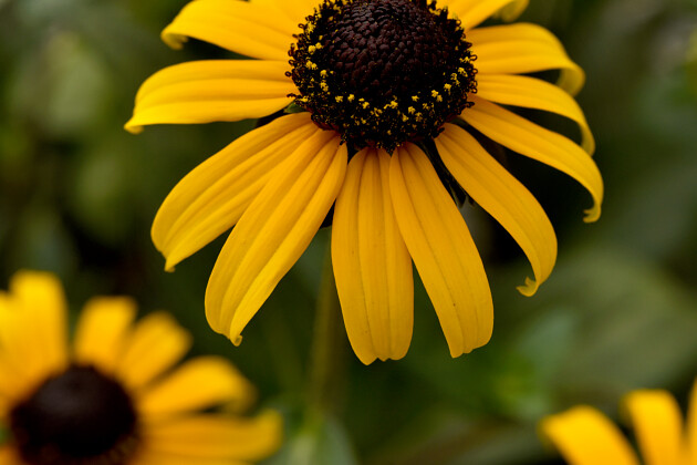 Impatiens Beacon®