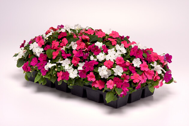 Wave Petunias Red Improved