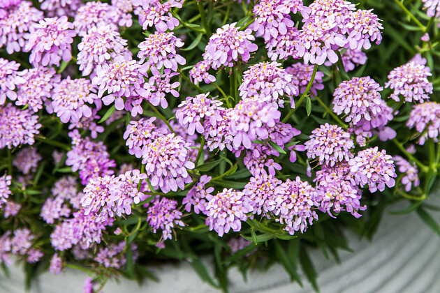 FotoFinish: The spreading petunia that is Fastest to the Finish!