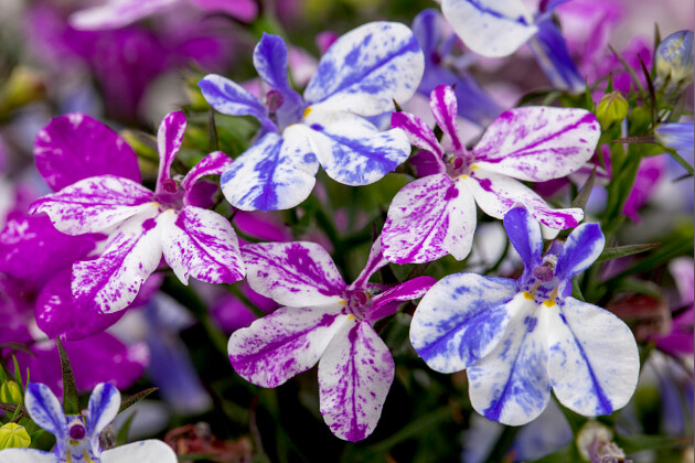 Calibrachoa Chameleon® Blackberry Pie
