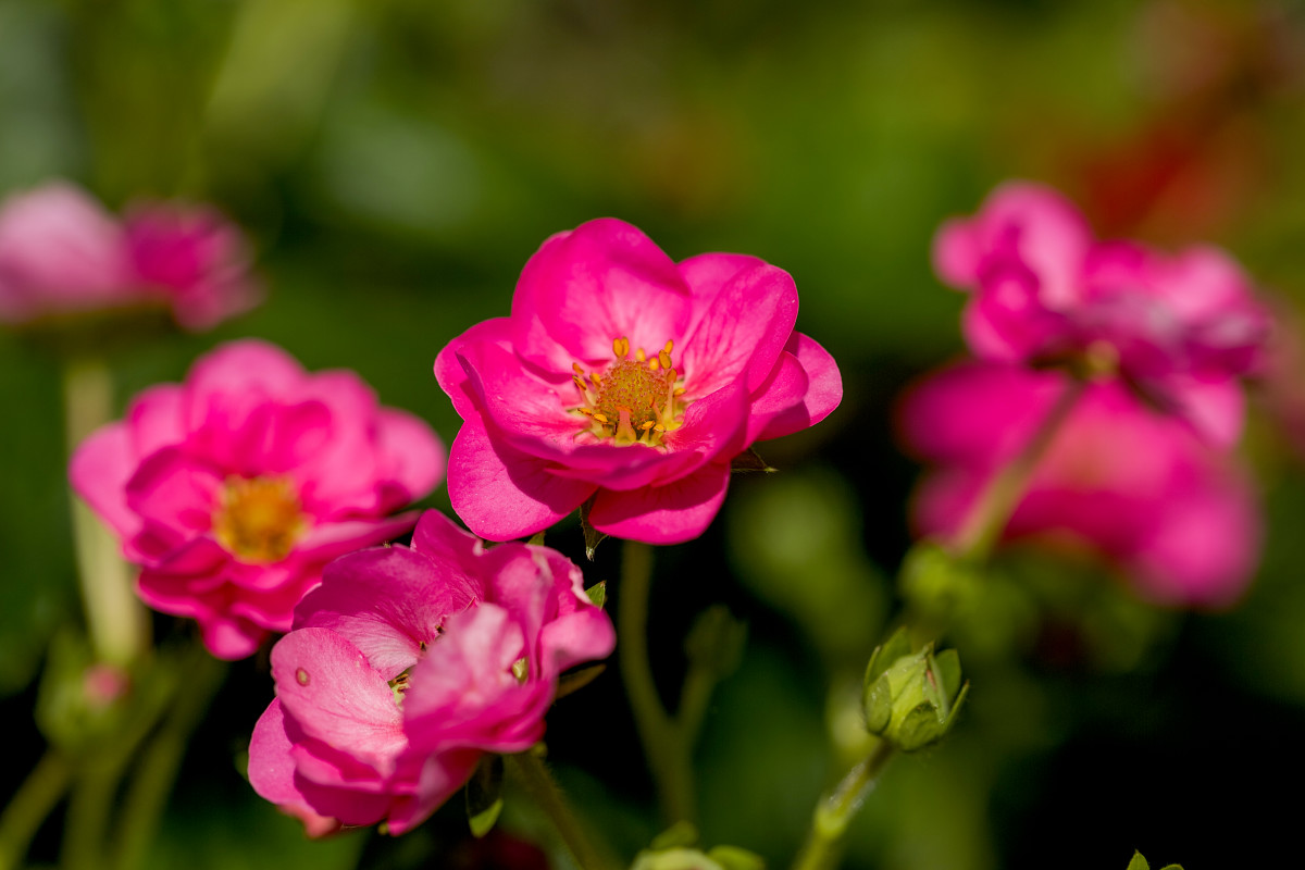 Abz seeds summer breeze pink a strawberry rose in soft pink flower colour mightylinksfo
