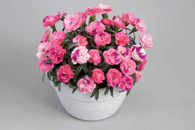 Dianthus Roselly Pink