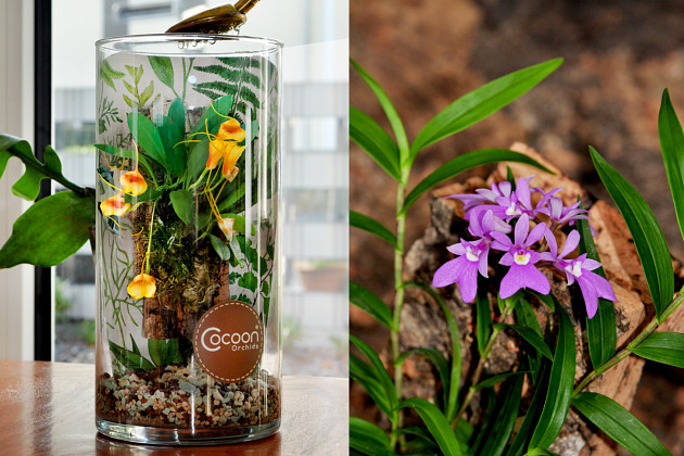 Hassinger Cocoon Orchids®