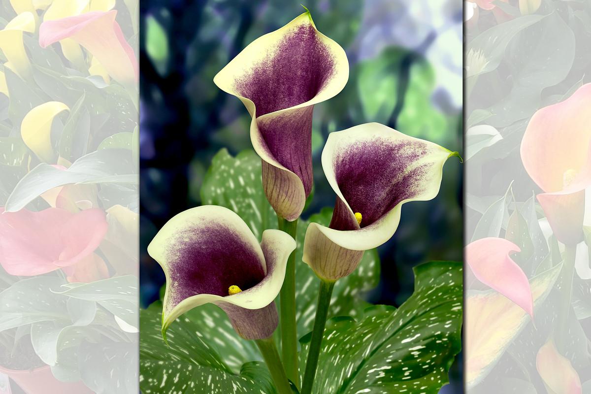 Vws export import of flowerbulbs exclusive pot callazantedeschia izmirmasajfo