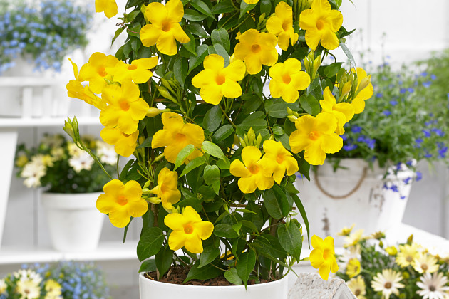 Mandevilla Bloom Bells Yellow