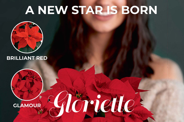 Poinsettia Gloriette Brilliant Red