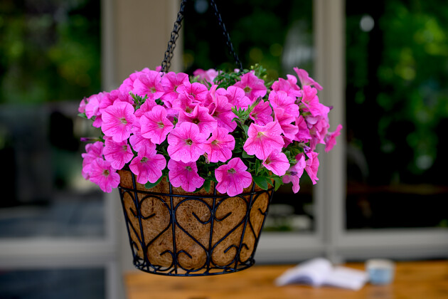 SCOOP® Watermelon | Petunia hybrid