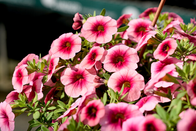 HARMONY® Colorfall Neon Red | Impatiens New Guinea